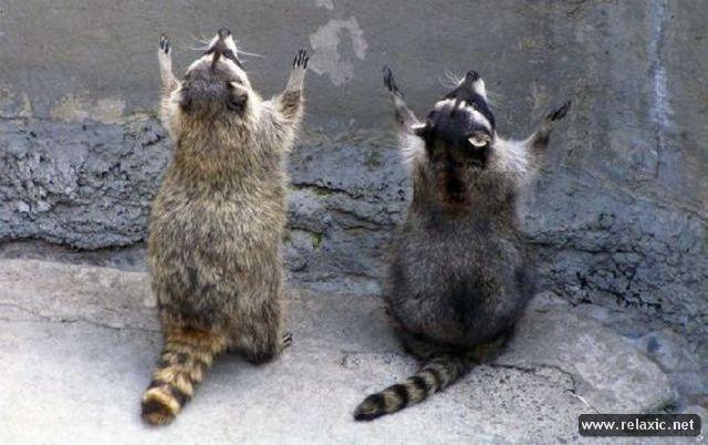 raccoons_015