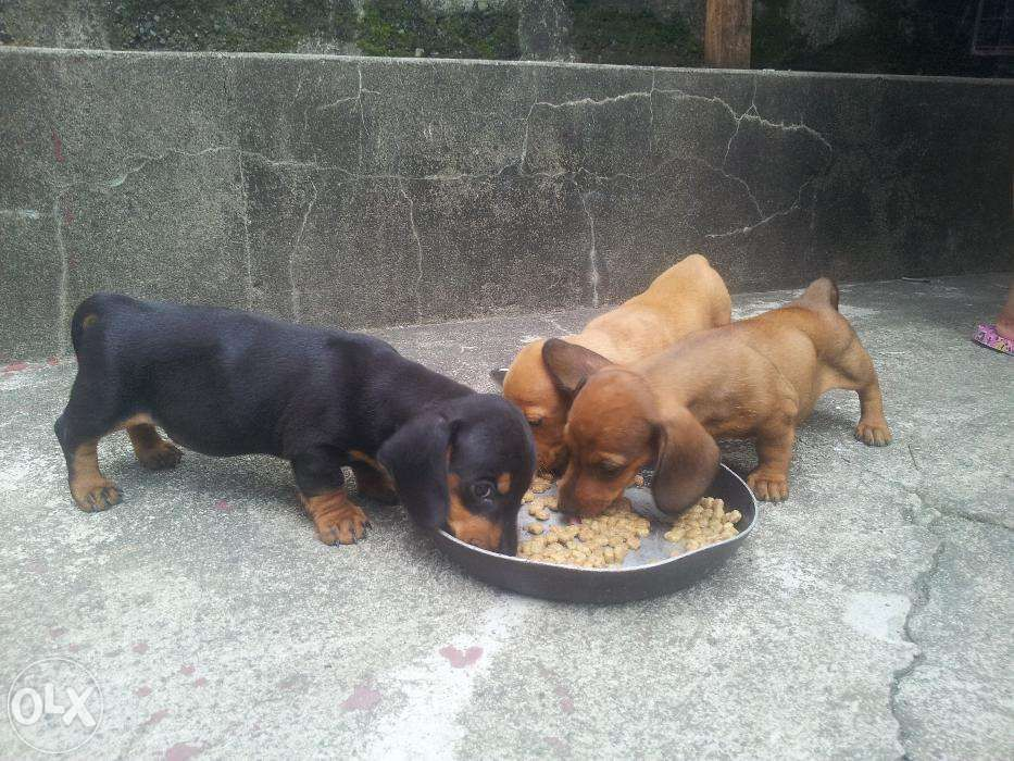 Dachshund Puppies For Sale Philippines Find New and Used