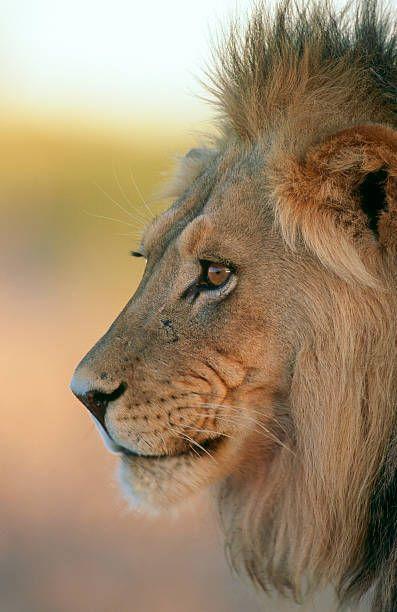 Portrait of an adult male Lion Panthera Leo Kalahari Desert Southern Africa