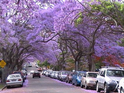 Jacaranda Trees I Love This About Australia I Am Always Attracted To Anything Naturally Occurring Purple In Nature It Is Almost As Out Of Africa Beautiful Places Nature