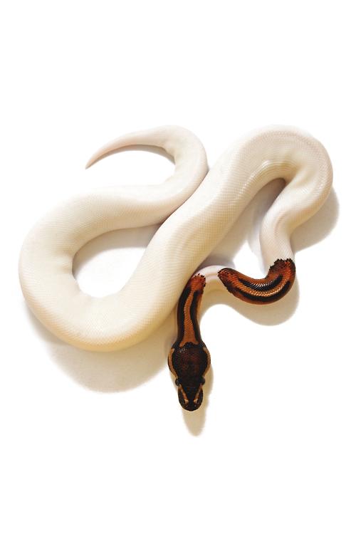 reals:  Piebald Python | Photographer