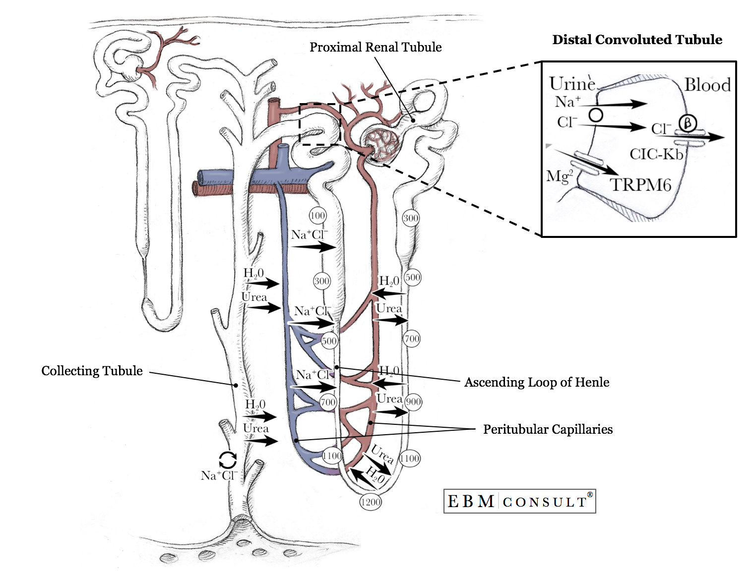 Nephron Anatomy Amp Physiology