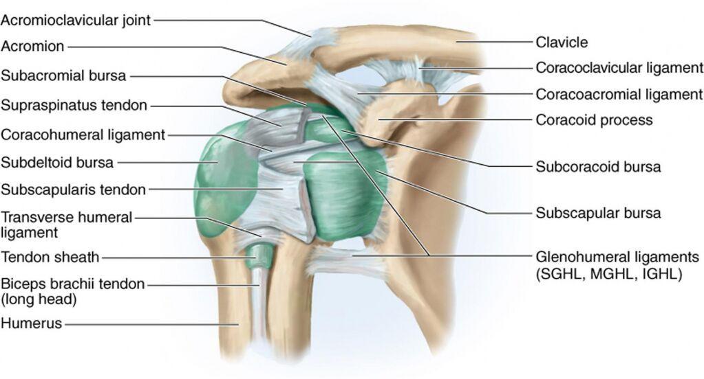 Shoulder capsule anatomy in detail - www.anatomynote.com | Anatomy ...