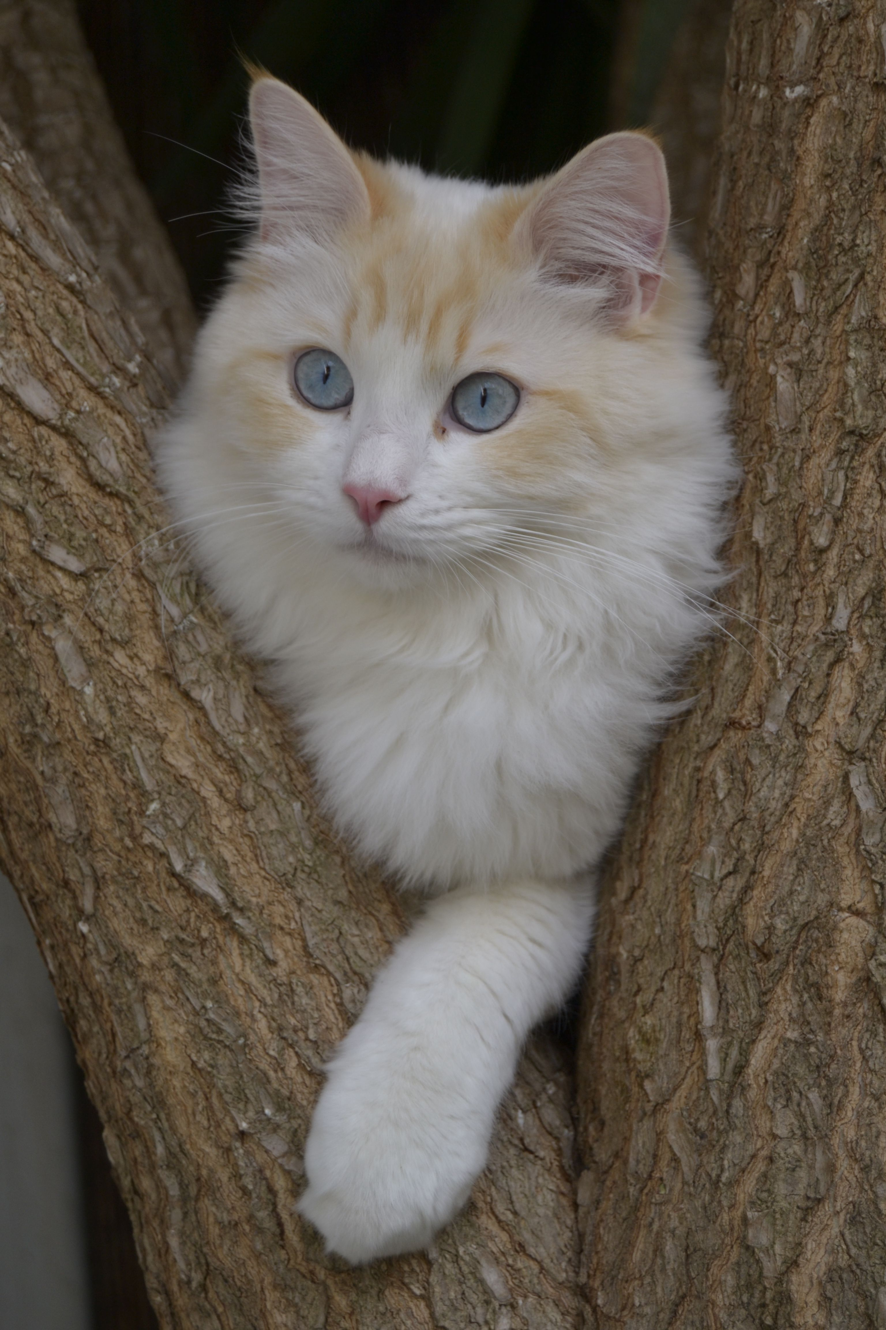 Yogui: un Ragdoll | Cats | Pinterest | Cat, Kitten and Animal