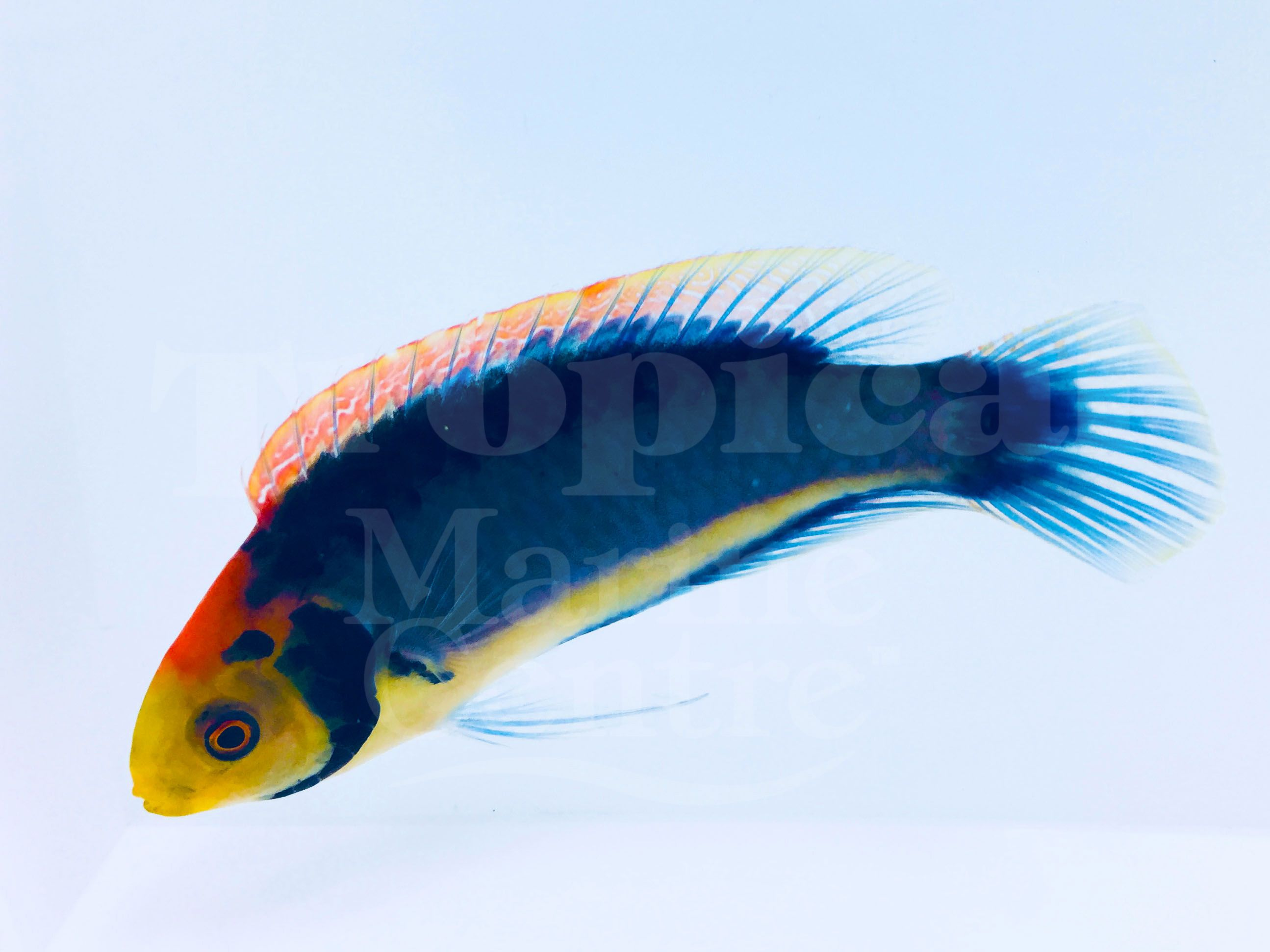 Red Head Solon Fairy Wrasse Cirrhilabrus Solorensis The Solar Fairy Wrasse Is An Eye Catching Wrasse Species That Can Be Found In A Marine Fish Fish Pet Fish