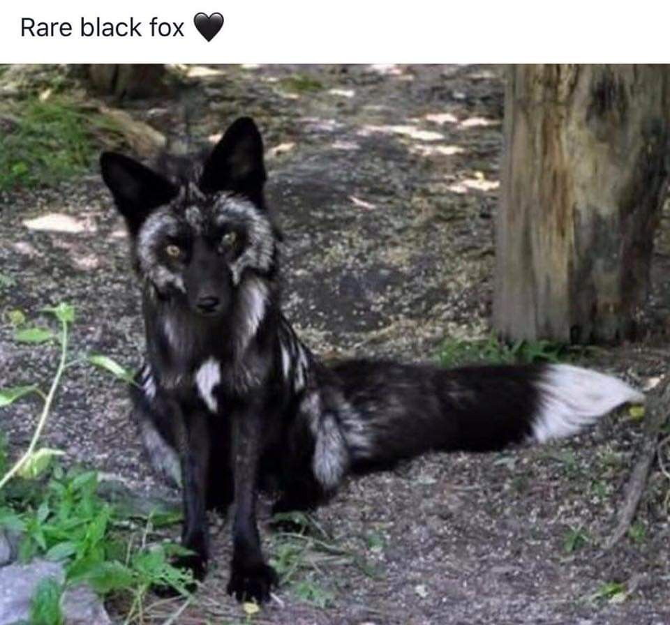 The Silver Fox Is A Melanistic Form Of The Red Fox Vulpes Vulpes