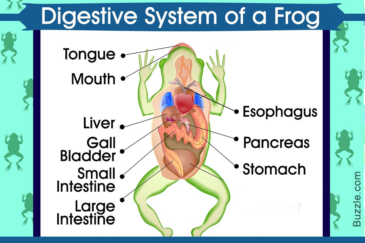The Major Organs Involved In The Process Of Digestion In Frogs Include Mouth Pharynx Esophagus Sto In 2020 Digestive System Digestive System Diagram Large Intestine