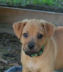 Golden Labrador Dog For Adoption In Yardley Pa Adn 546329 On