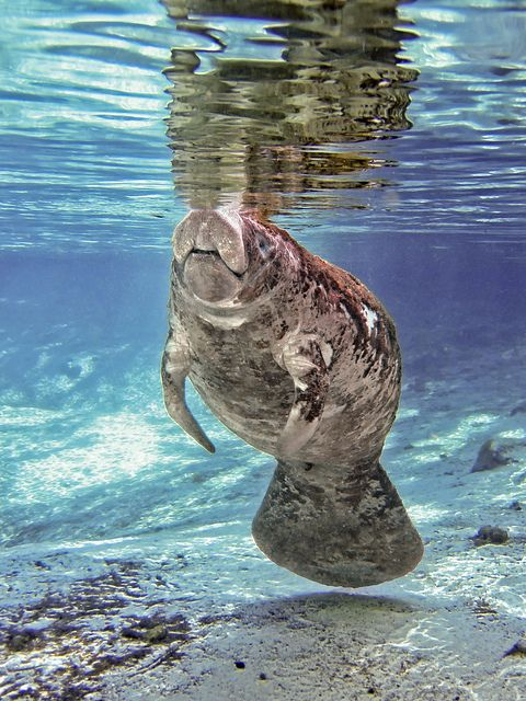 Lazy Morning--young manatee