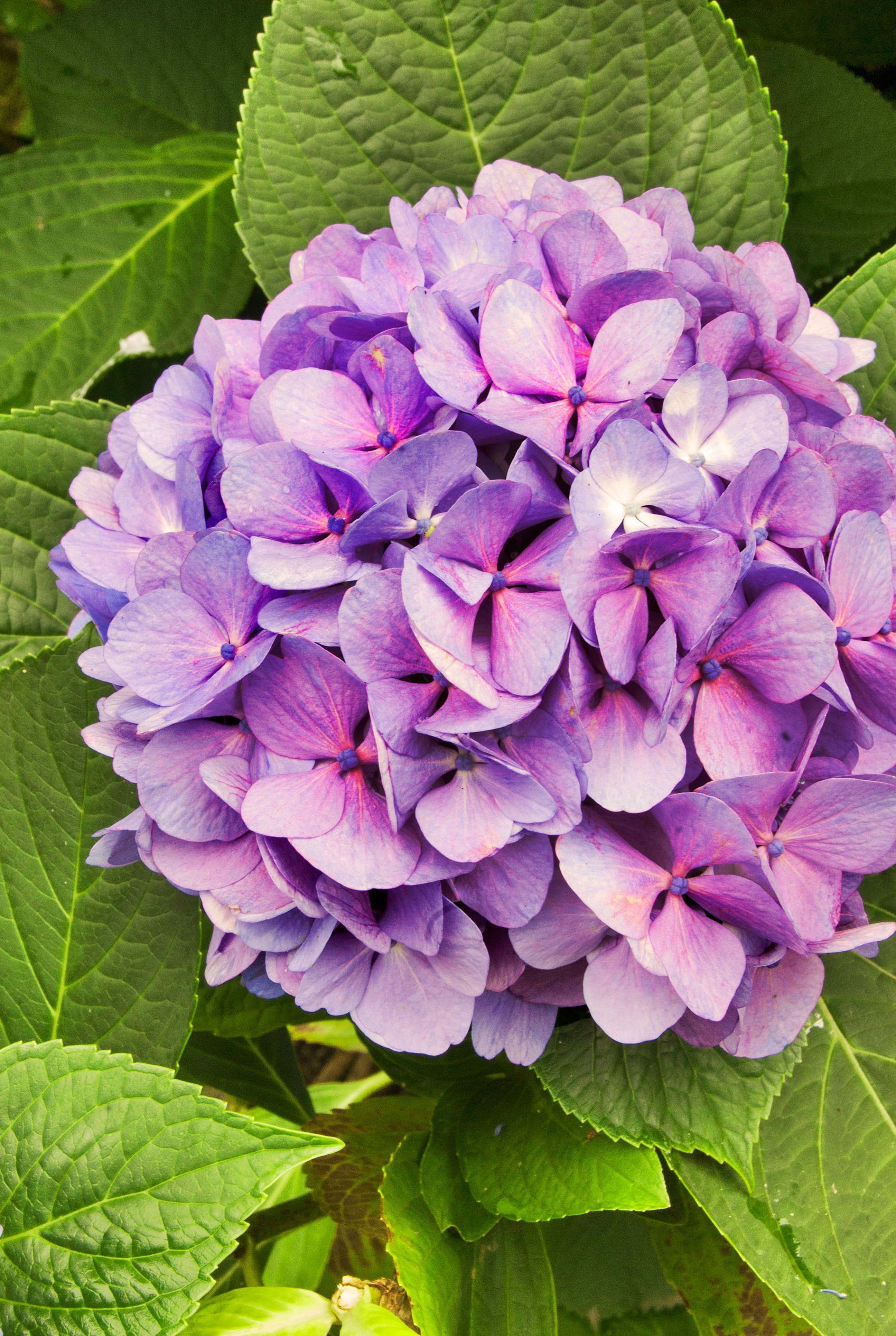 Hydrangea Flower pictures, Flower photos, Best flower