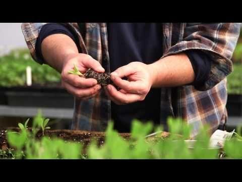 Costoluto Genovese Tomato | Thomas Jefferson's Monticello ...  |Thomas Jefferson Garden Seeds