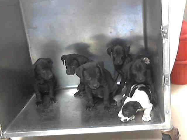 Houston, TX~~ CRITICAL TO GET THESE PUPPIES OUT OF THIS PLACE!!!!!~~This DOG-ID#A410005 -10009 I am a black Labrador Retriever mix.  My age is unknown.  I have been at the shelter since Jul 03, 2014.