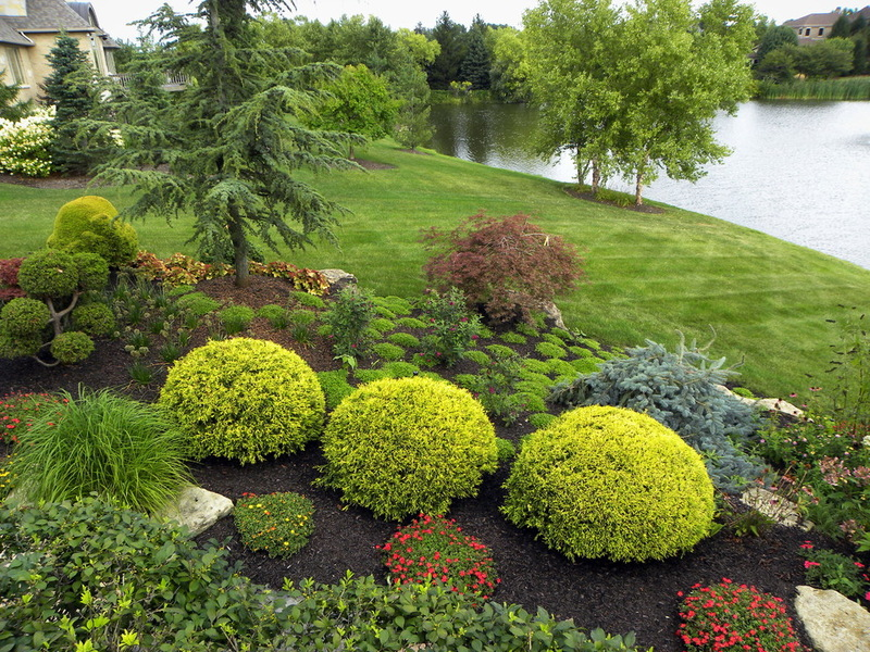 Round shrubs in the center are Golden Mop pruned to a round shape
