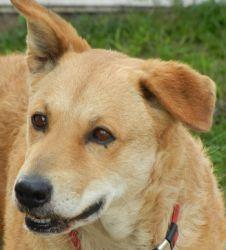 Adopt Cher On Dogs Golden Retriever Shepherd Mix Dog Dogs