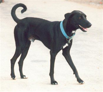 List Of Indian Dog Breeds With Pictures Dog Breeds Dog Breeds List Dogs