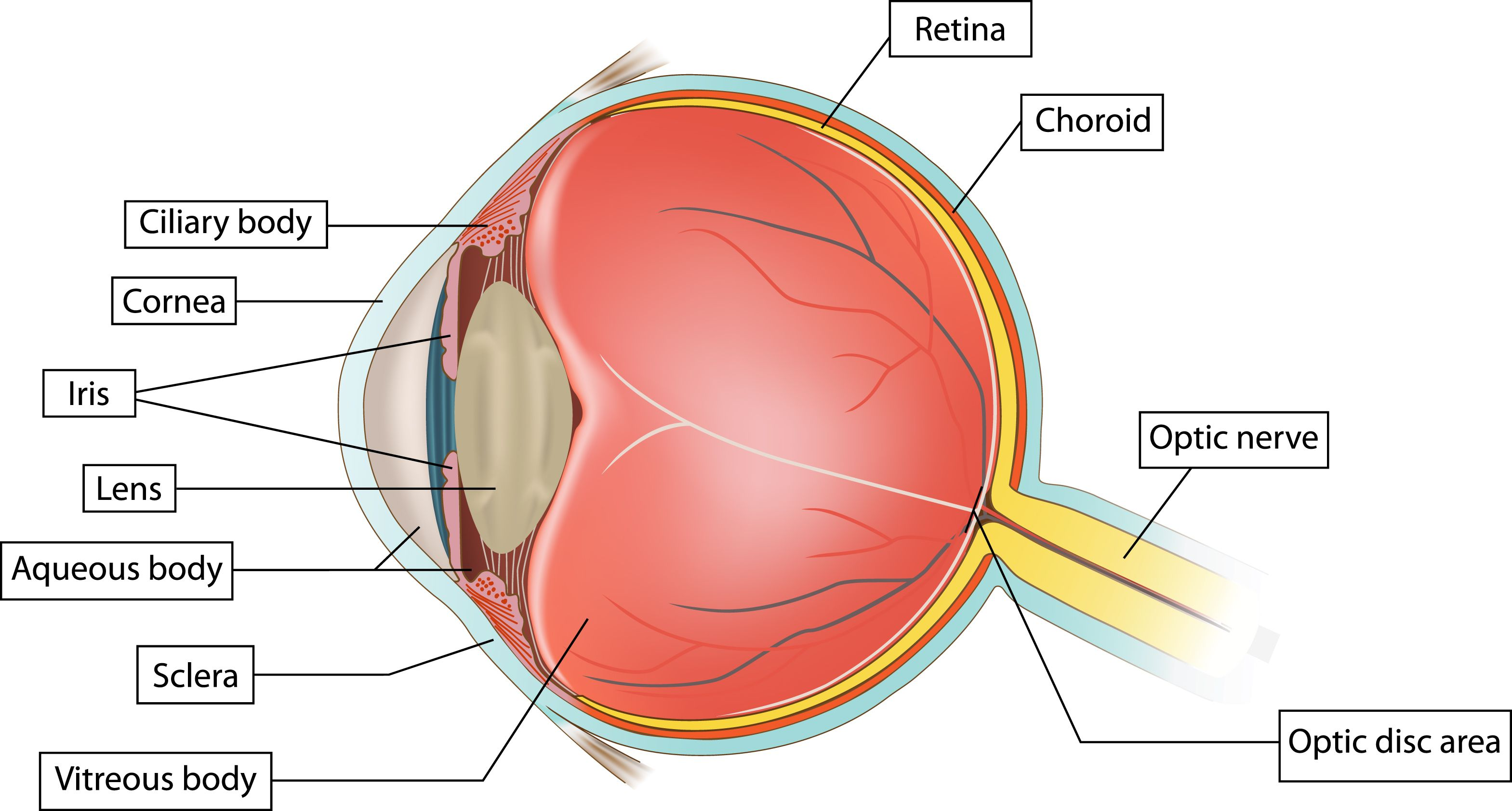 Sclera - which in its severe necrotizing or in the posterior type ...