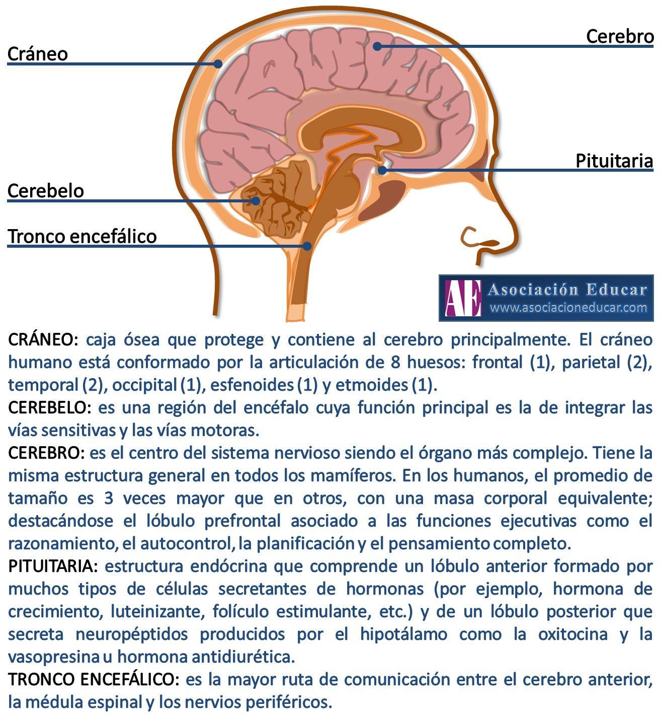 Infografía Neurociencias: Cráneo; Cerebro; Cerebelo; Pituitaria ...