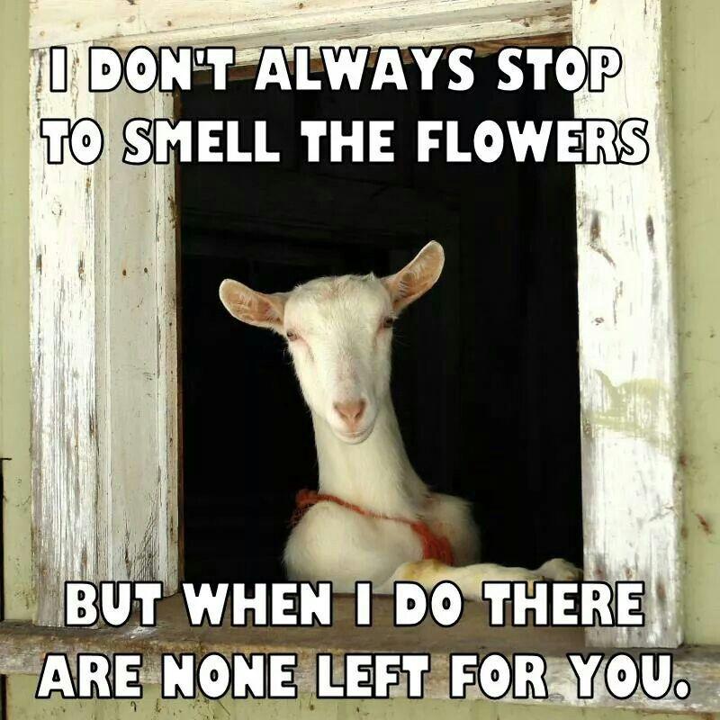 e505b56881 Goats and their flowers...   Goats! So freakin' cute!!   Goats, Cute ...