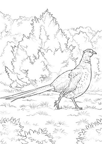 Click To See Printable Version Of Ring Necked Pheasant Coloring Page