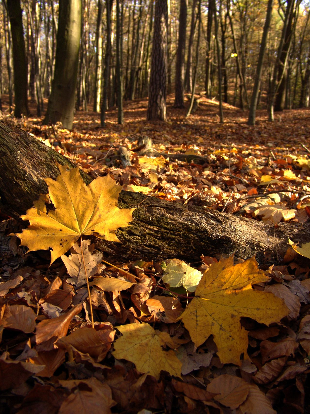 Pic:by denny bitte - #autumn #forest #leaves #nature #on #original #photographers #photography #tumblr
