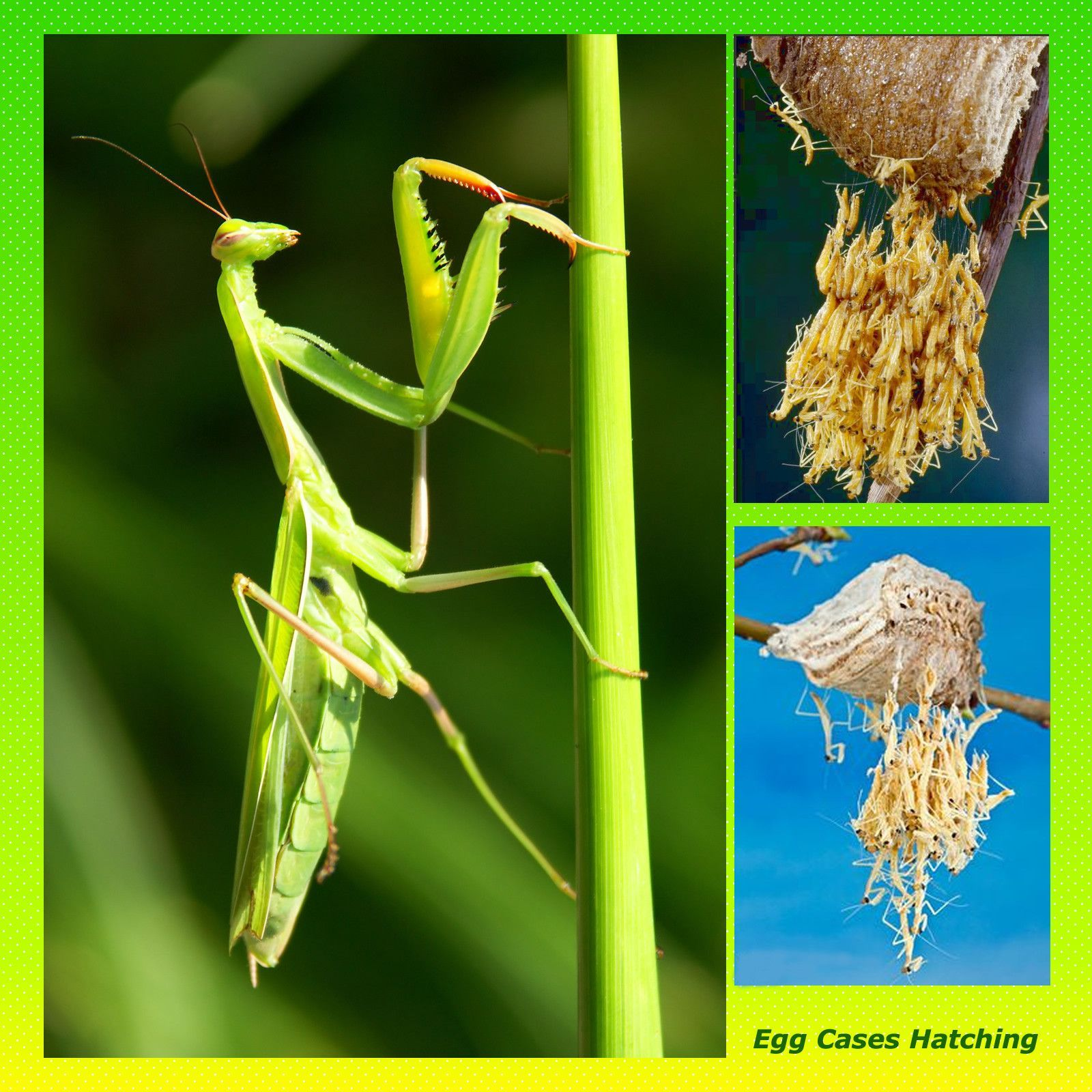 Chinese Mantis Ootheca Kit Garden Pest Control Natural Pest Control Garden Pests