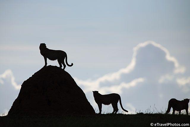 Cheetahs. Masai Mara, Kenya