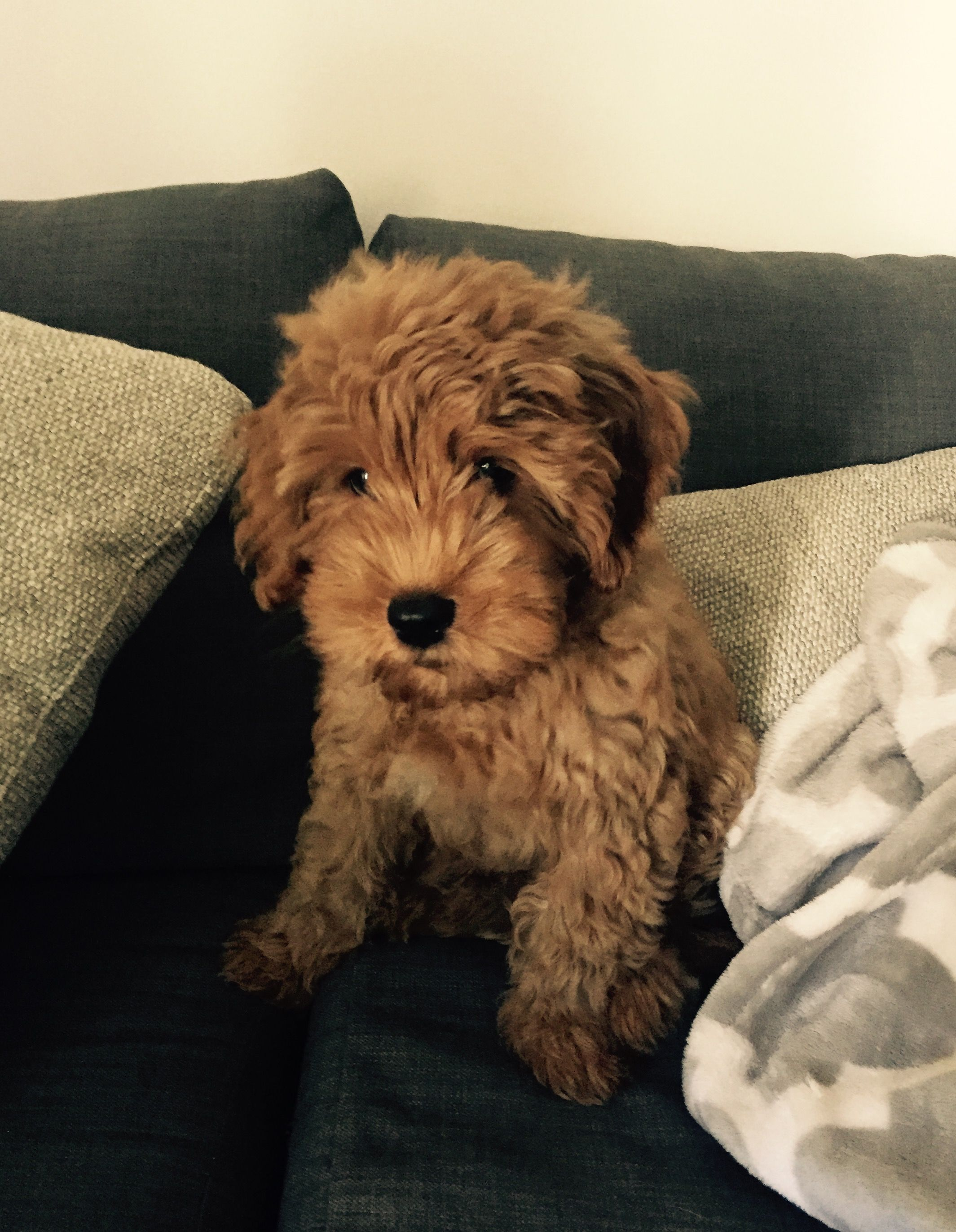Harrison The F1b Mini Goldendoodle F1b Mini Goldendoodle Fluffy