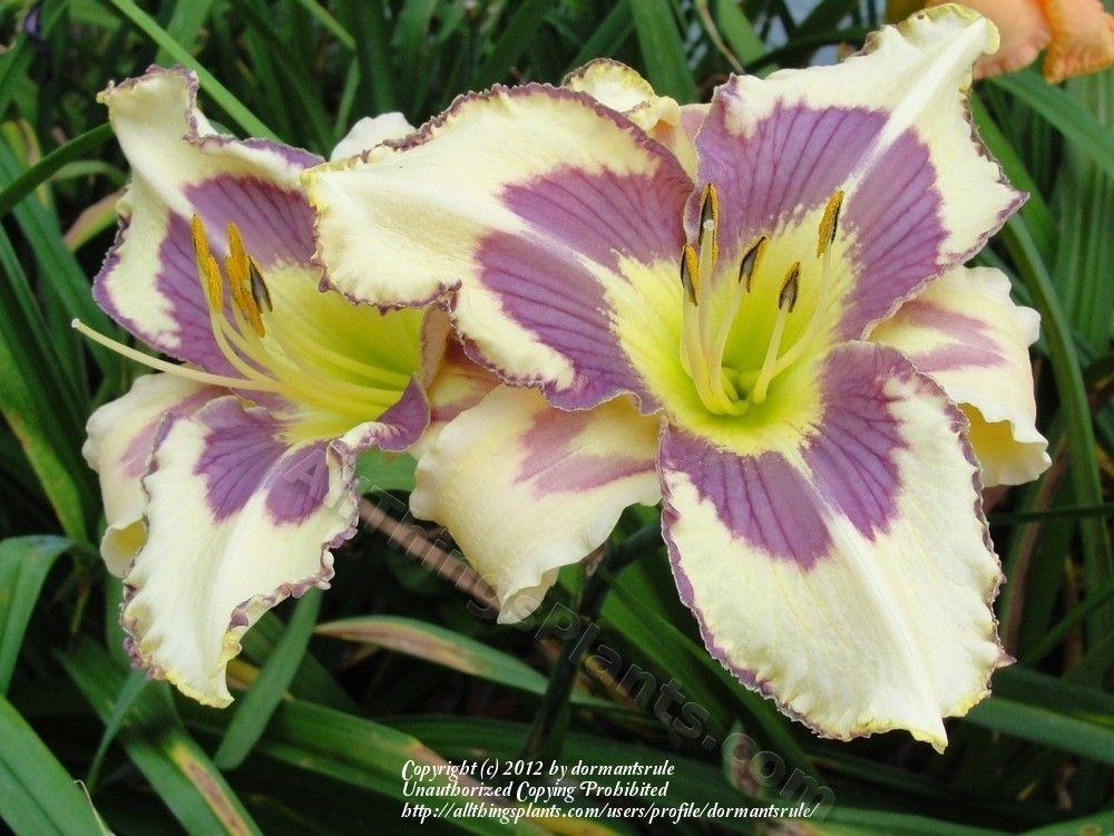 Photo of daylily hemerocallis always appliqué uploaded by