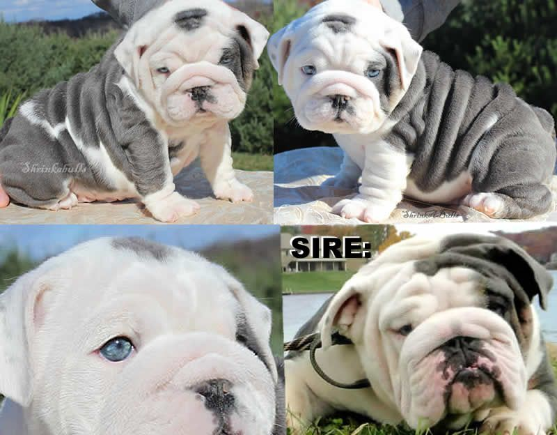 Blue English Bulldog Puppies English Bulldog Puppies Miniature
