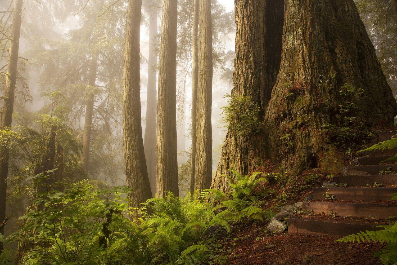 Magnificent redwoods in California