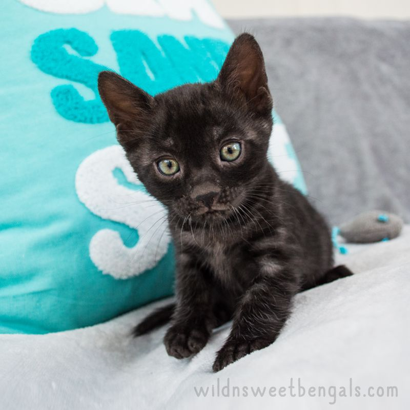 Bengal Kittens Cats For Sale Near Me Wild Sweet Bengals Bengal Kitten Baby Cats Pretty Cats