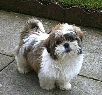Adorable Shih Tzu Looks Like An Ewok Shih Tzu Puppy Cute Dogs