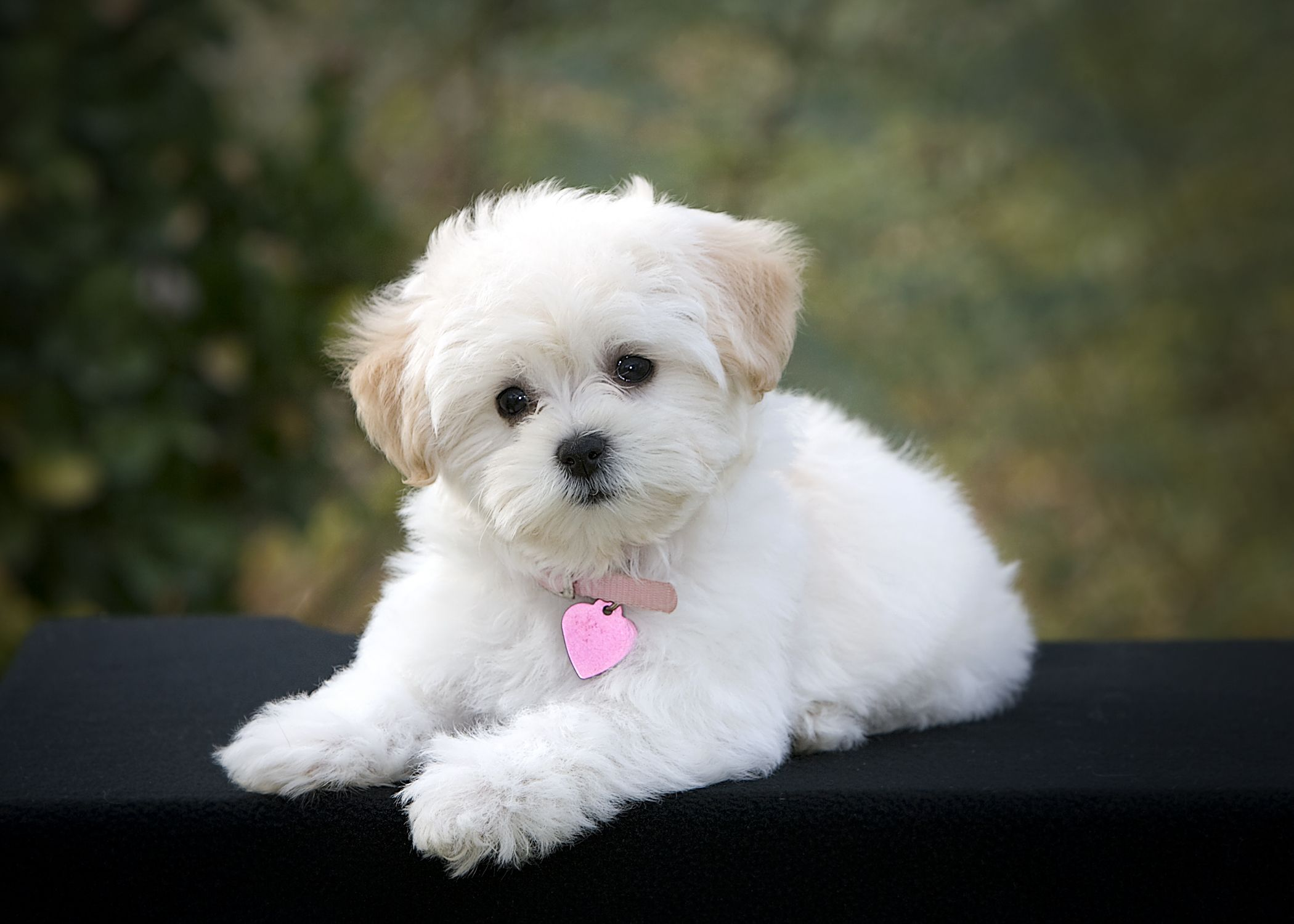 Small Toy Puppies : Can we guess your dog s name maltipoo and breeds