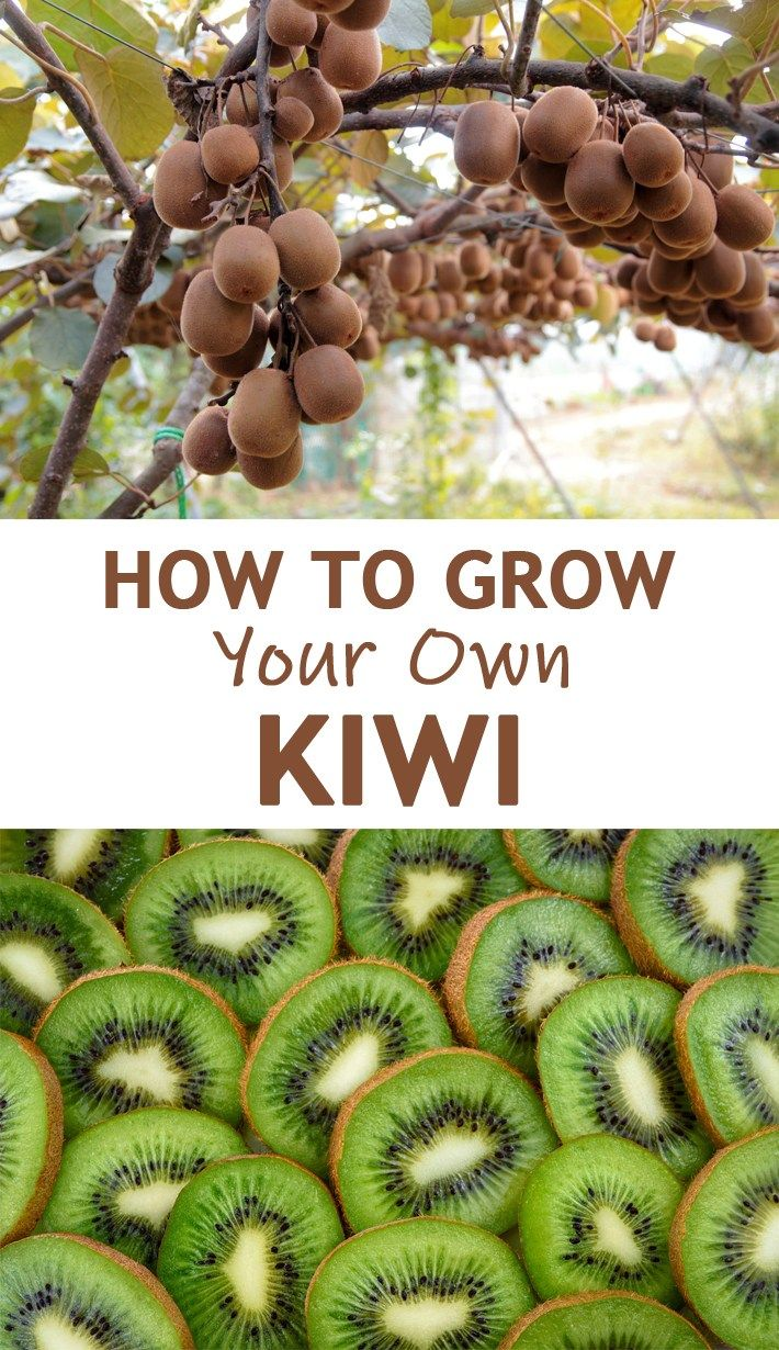 How To Grow Your Own Kiwi Kiwis Are Vine Plants Although Some Of You May Have Envisioned A Kiwi Tree From A Purel Growing Fruit Trees Kiwi Vine Kiwi Growing