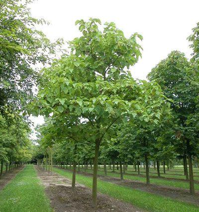 blauglockenbaum pflanzen pinterest blauglockenbaum garten und baum. Black Bedroom Furniture Sets. Home Design Ideas