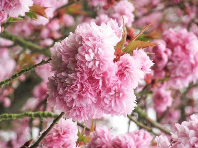 Spring Prunus Asano Cherry Tree Shrub Flowering Cherry Tree Pink Flowering Trees Japanese Flowering Cherry
