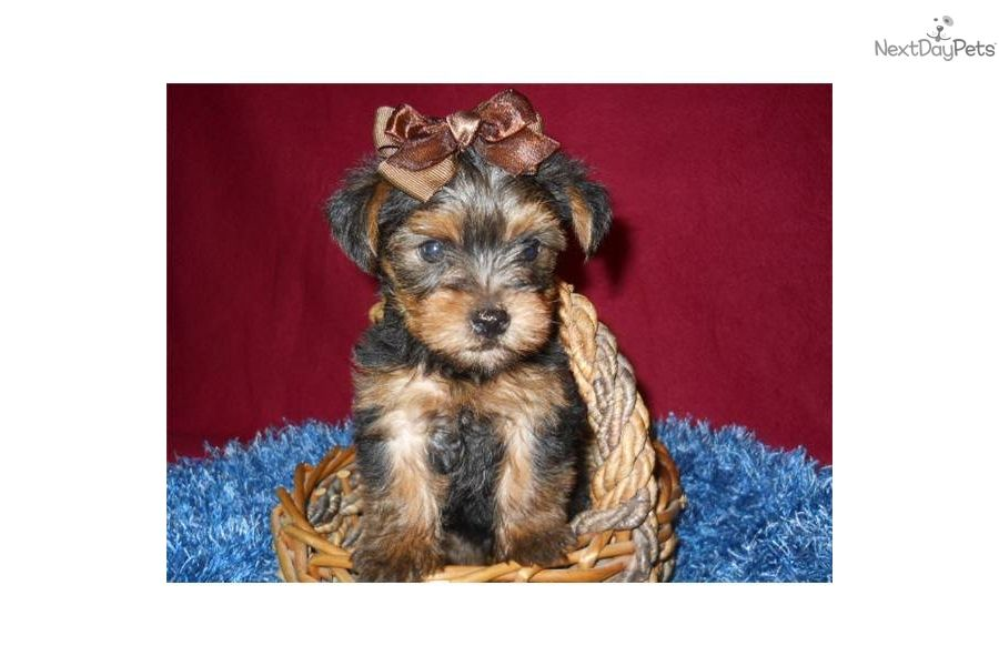 Yorkshire Terrier Yorkie Puppy For Sale Near St Louis Missouri 30ceea9b 07b1 Yorkie Puppy For Sale Yorkie Puppy Yorkie