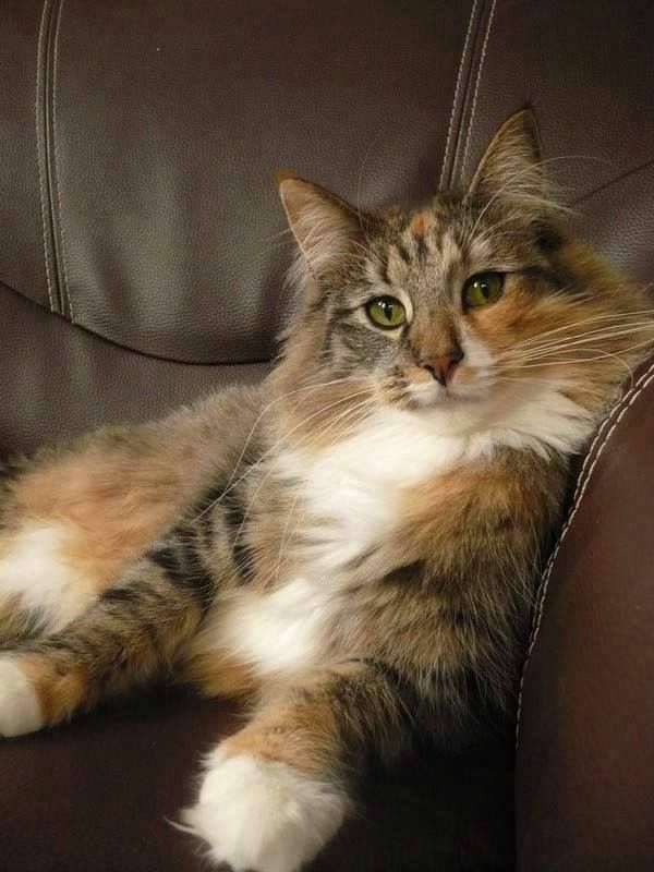 Pin By Meggy Sweaters On Gorgeous Cats Norwegian Forest Cat Gorgeous Cats Fancy Cats
