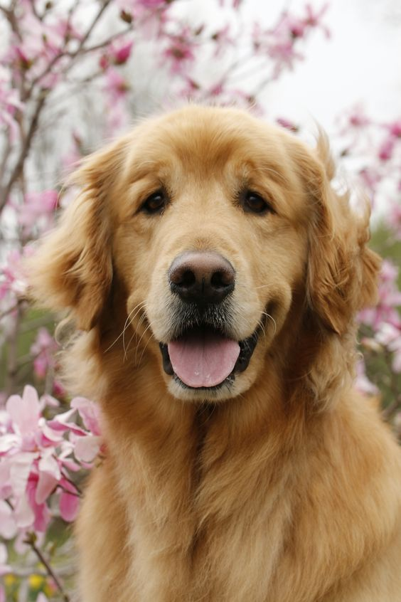 Pin By Lydia Bee On Dog Art Golden Retriever Dogs Golden