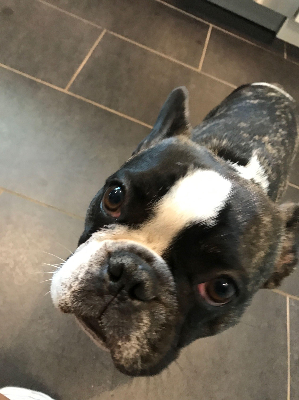 ✯alexiamychal✯|Boston terrier!!