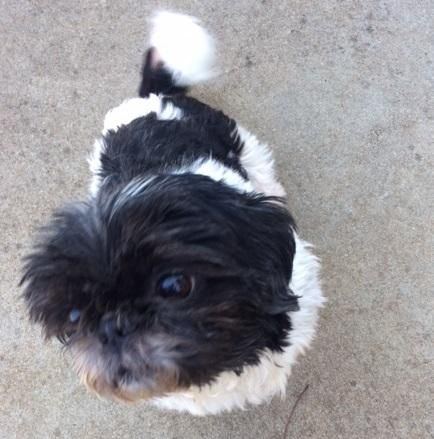 Adopt Essence On Shih Tzu Dogs Shih Tzu Puppy