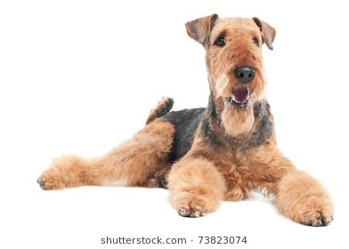 One lying Black brown Airedale Terrier dog isolated on
