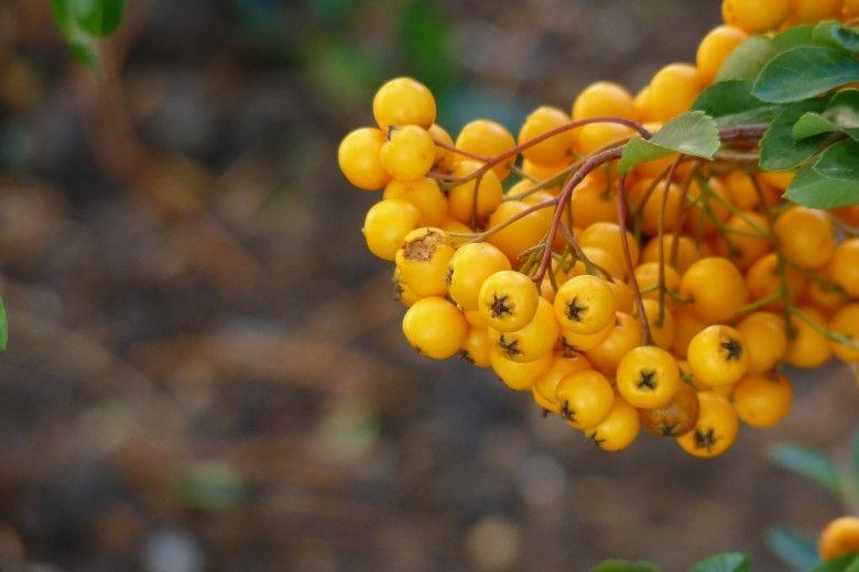 Pyracantha Soleil D Or Vuurdoorn Klimplanten Tuinplanten Planten