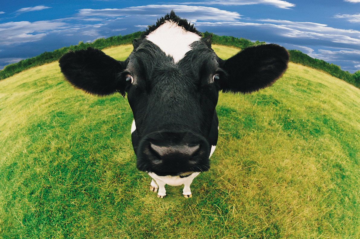 Up Close Photos Of Holstein Cows Download Texture Cow Wallpaper