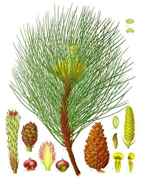 Pinus nigra - Köhler–s Medizinal-Pflanzen-242 - Naaktzadigen - Wikipedia