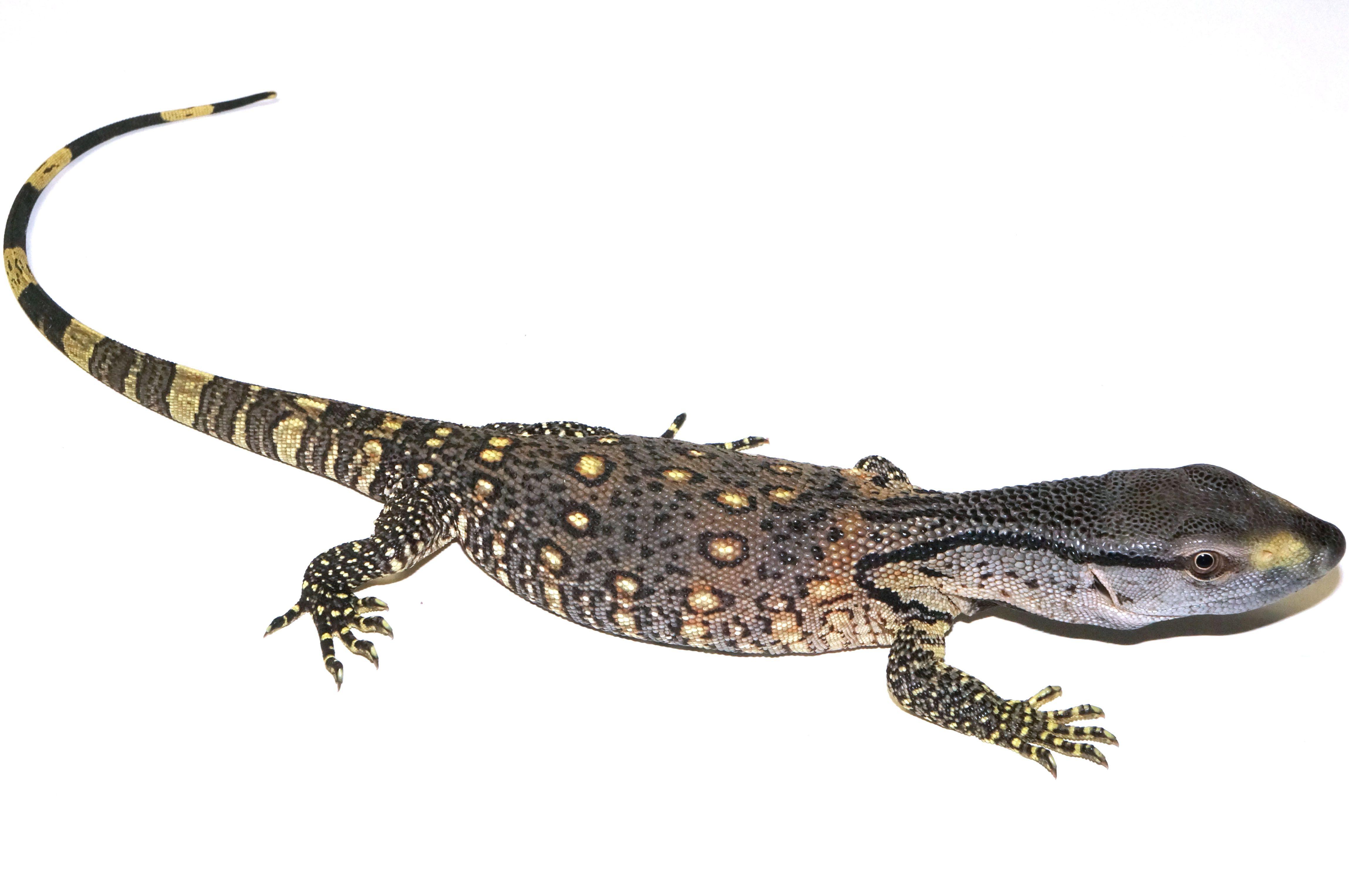 Baby Blackthroat Monitor | Lizards: Monitors & Tegus