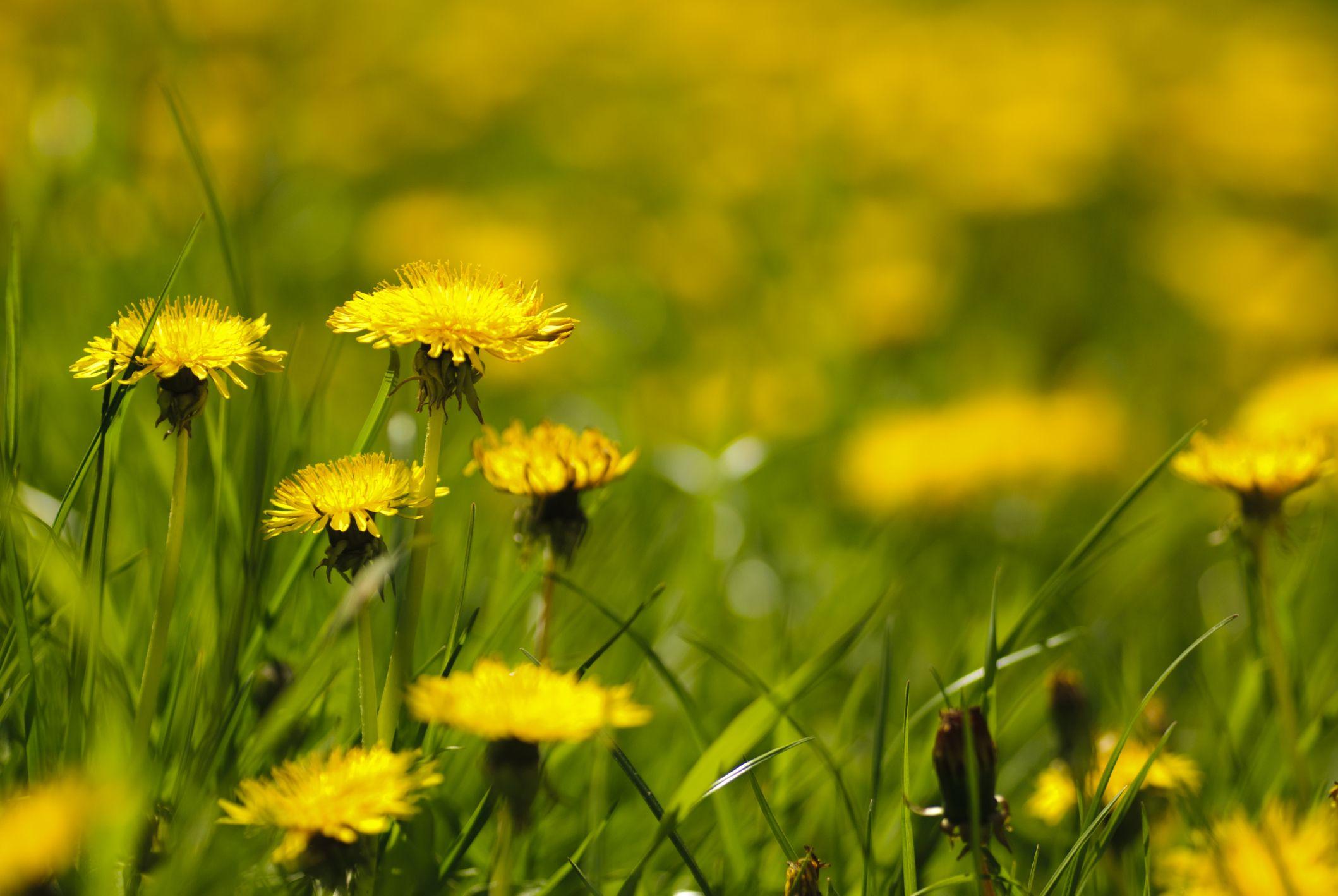 How To Dry Dandelion Flowers Dandelion Flower Dandelion Perennial Herbs