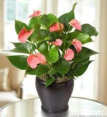 Anthurium Plant Care Pictures Of Anthurium Andraeanum Plantas Plantas Em Vaso Flores Tropicais