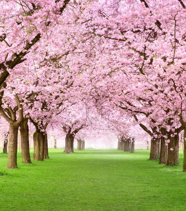 Japon En Flor Blossom Trees Cherry Blossom Tree Cherry Tree