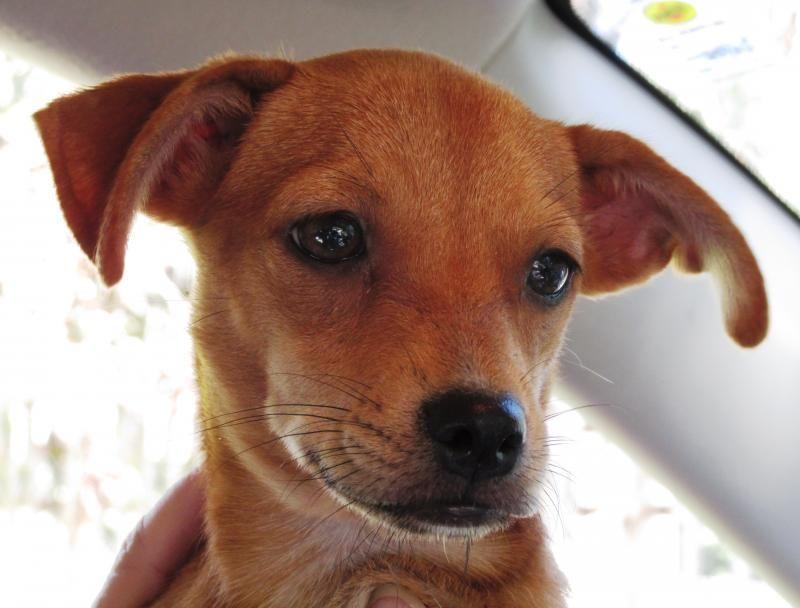 Adopt Cricket on Paws rescue, Dachshund mix, Cute animals
